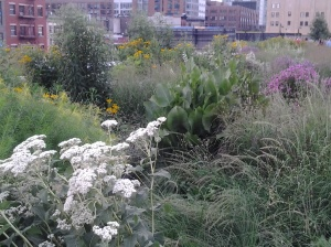 Wildflowers along the Highline, NYC
