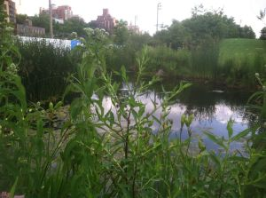 Space for nature has been created in the new wetlands of Brooklyn Bridge Park.